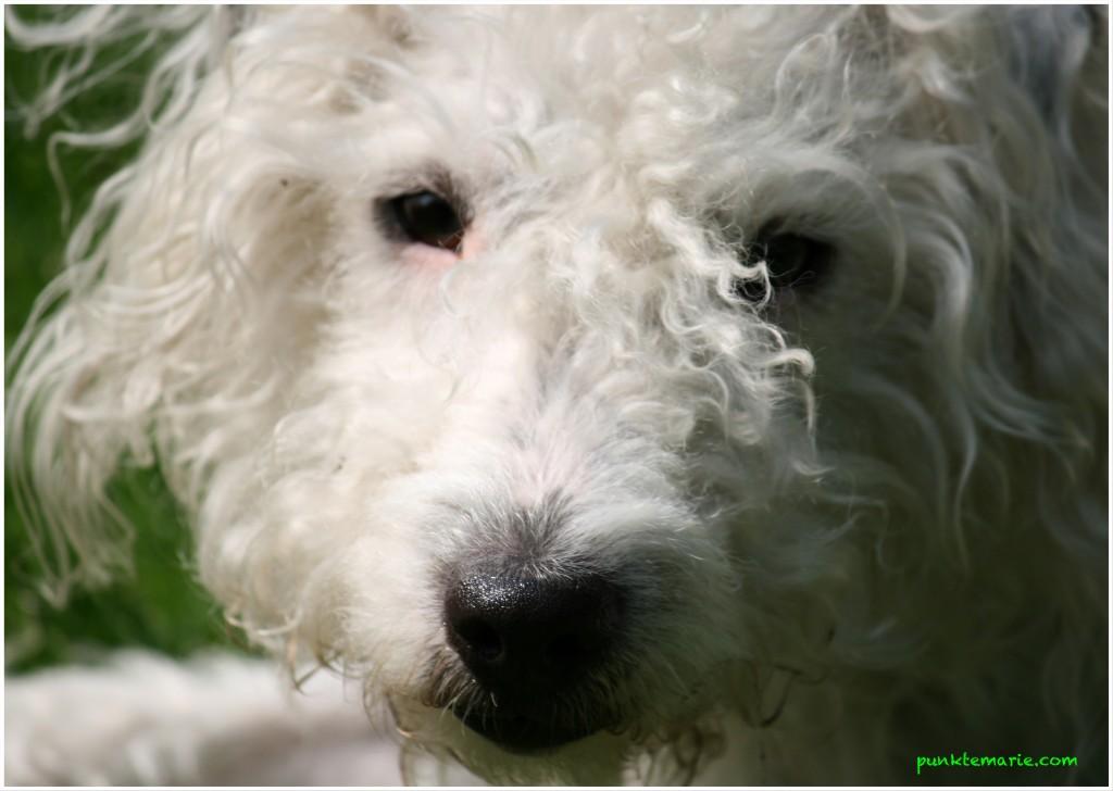 Punktehund